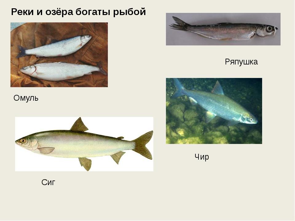 Реки и озёра богаты рыбой Омуль Ряпушка Чир Сиг
