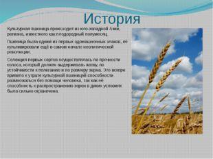 История Культурная пшеница происходит из юго-западной Азии, региона, известно