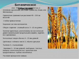 Пшени́ца (лат.Tríticum)— род травянистых, в основном однолетних, растений с