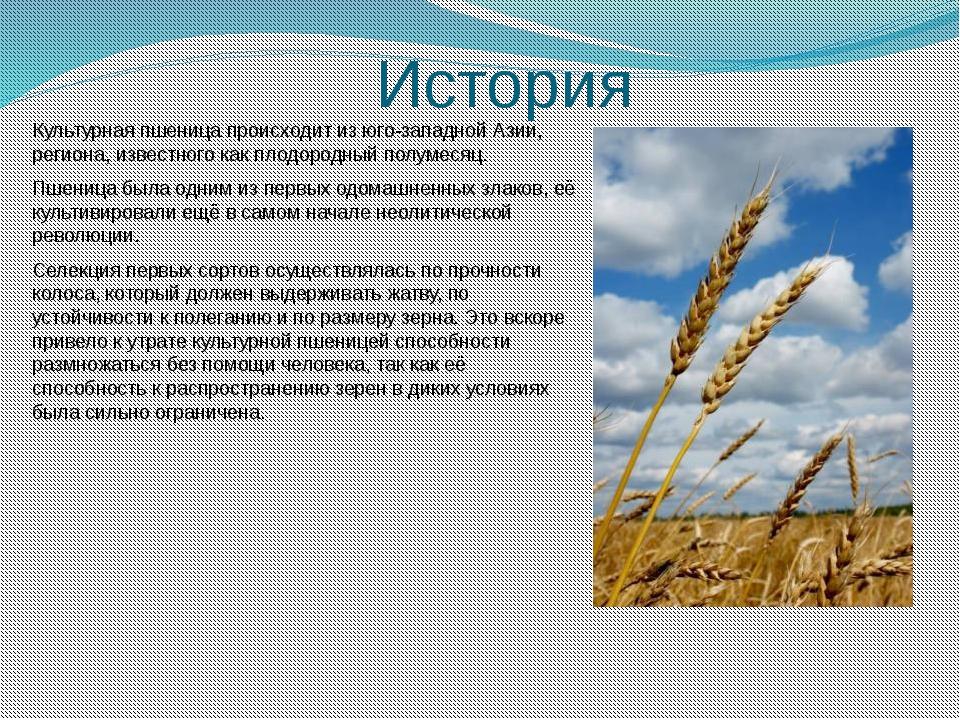 История Культурная пшеница происходит из юго-западной Азии, региона, известно...