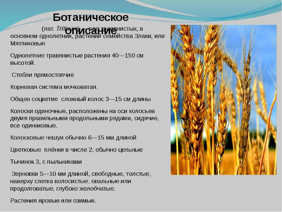 Пшени́ца (лат.Tríticum)— род травянистых, в основном однолетних, растений с...