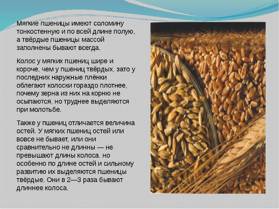 Мягкие пшеницы имеют соломину тонкостенную и по всей длине полую, а твёрдые п...