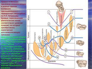 Уровни появления признаков млекопитающих вразных группах вымерших пресмыкающ