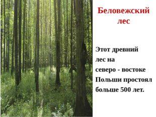 Этот древний лес на северо - востоке Польши простоял больше 500 лет. Беловежс