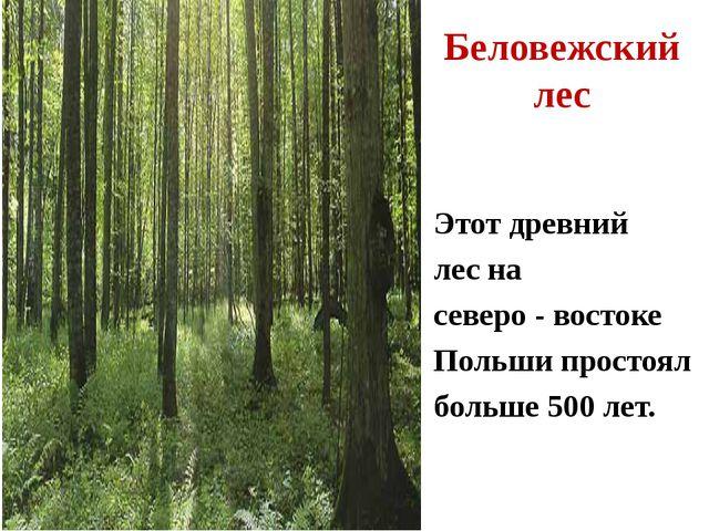 Этот древний лес на северо - востоке Польши простоял больше 500 лет. Беловежс...