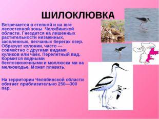 ШИЛОКЛЮВКА Встречается в степной и на юге лесостепной зоны Челябинской област