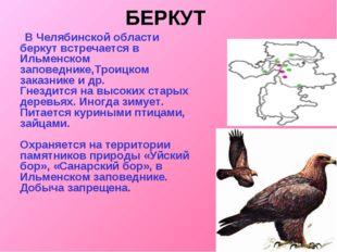 БЕРКУТ  В Челябинской области беркут встречается в Ильменском заповеднике,Тр