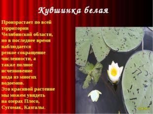 Кувшинка белая Произрастает по всей территории Челябинской области, но в пос