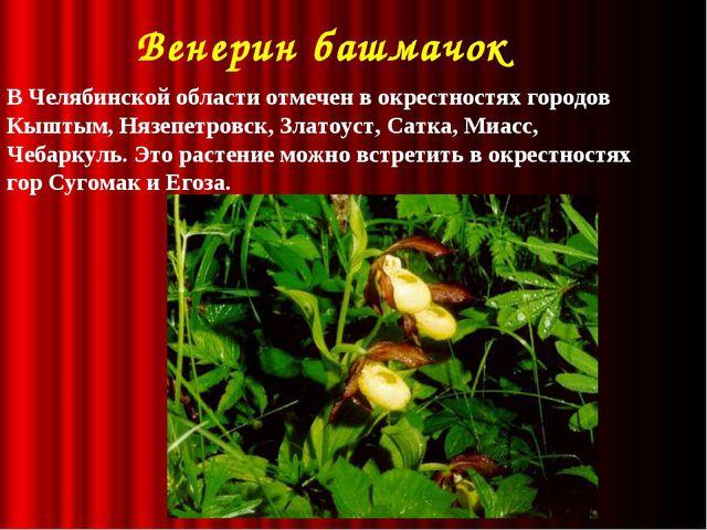 Венерин башмачок В Челябинской области отмечен в окрестностях городов Кыштым...