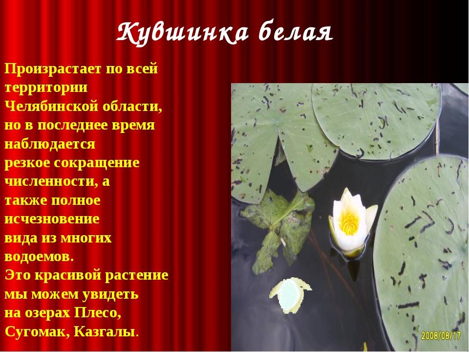 Кувшинка белая Произрастает по всей территории Челябинской области, но в пос...