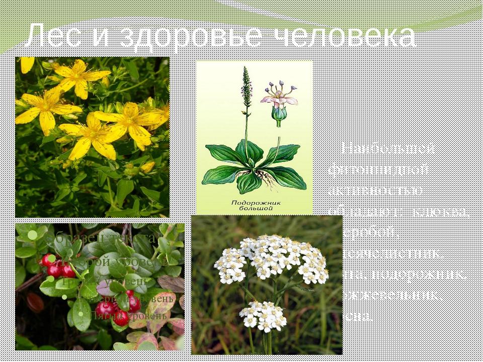 Лес и здоровье человека Наибольшей фитонцидной активностью обладают: клюква,...