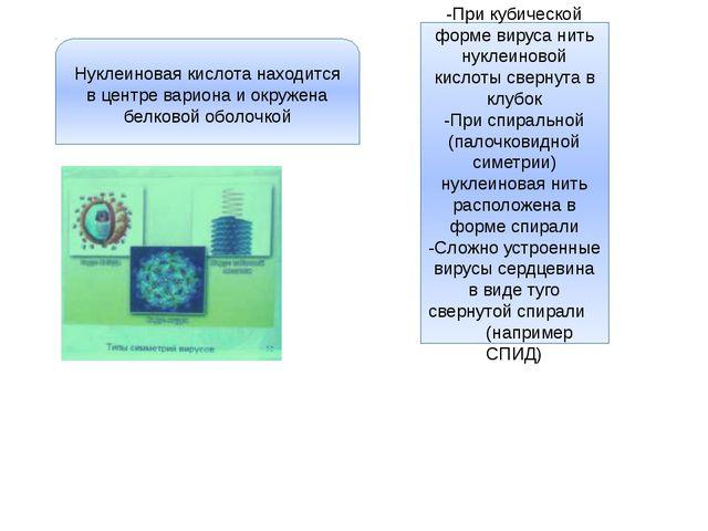 Нуклеиновая кислота находится в центре вариона и окружена белковой оболочкой...