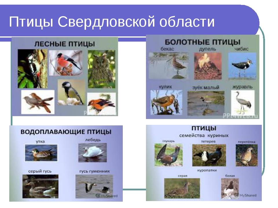 Птицы Свердловской области