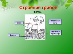 Строение грибов Шляпка Ножка Гифы Плодовое тело Мицелий (грибница)