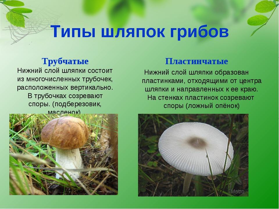 Типы шляпок грибов Пластинчатые Нижний слой шляпки образован пластинками, отх...