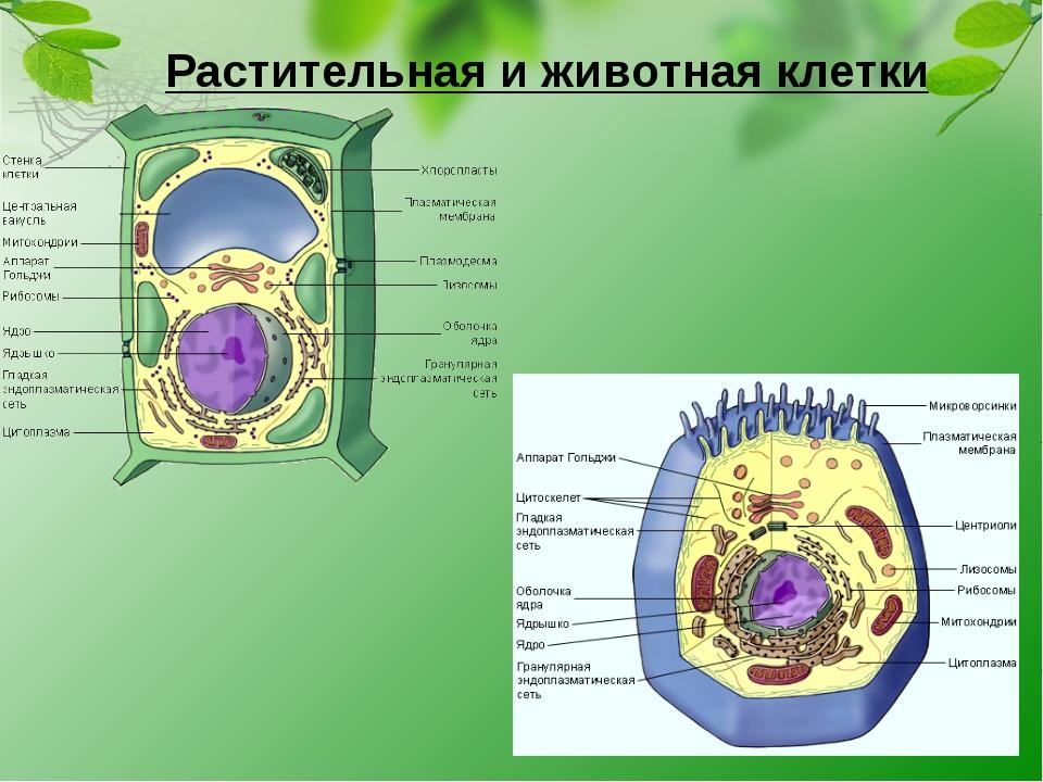 Растительная и животная клетки