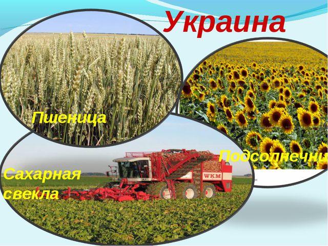 Украина Пшеница Сахарная свекла Подсолнечник