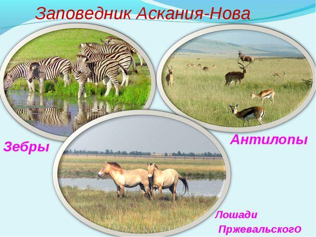 Заповедник Аскания-Нова Зебры Лошади Пржевальского Антилопы