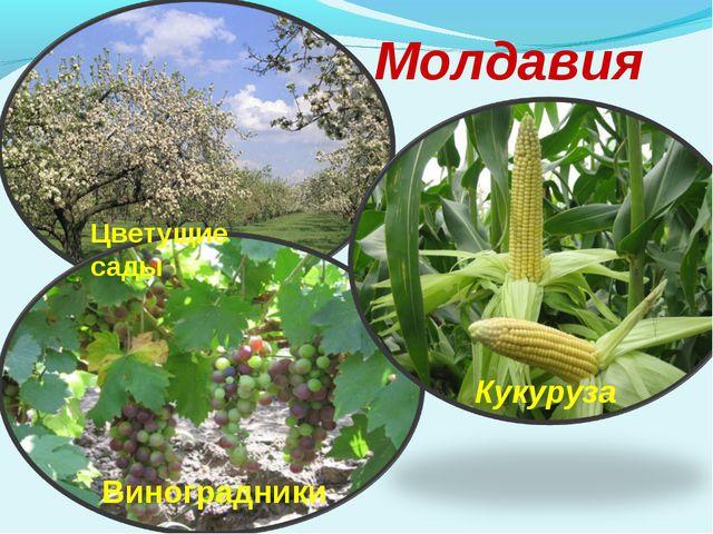 Молдавия Цветущие сады Виноградники Кукуруза