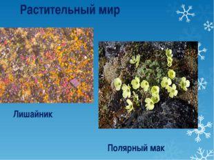 Лишайник Полярный мак Растительный мир