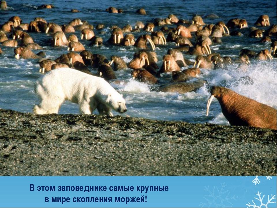 В этом заповеднике самые крупные в мире скопления моржей!