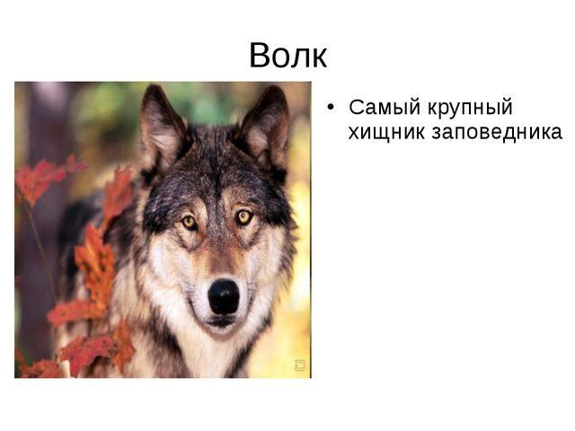 Волк Самый крупный хищник заповедника