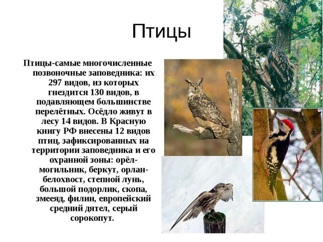 Птицы Птицы-самые многочисленные позвоночные заповедника: их 297 видов, из ко...