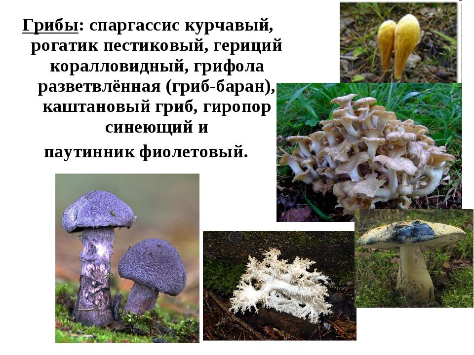 Грибы: спаргассис курчавый, рогатик пестиковый, гериций коралловидный, грифол...