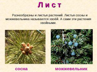 Л и с т Разнообразны и листья растений. Листья сосны и можжевельника называют