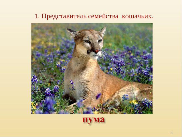 1. Представитель семейства кошачьих. *