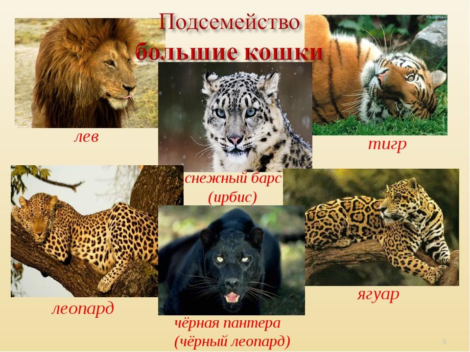 лев чёрная пантера (чёрный леопард) леопард ягуар тигр снежный барс (ирбис) *