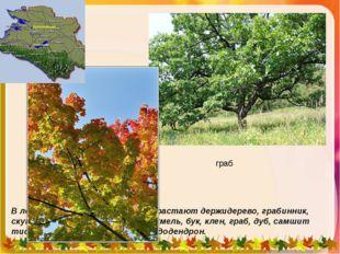 В лесах Сочинского района произрастают держидерево, грабинник, скумпия, плющ,