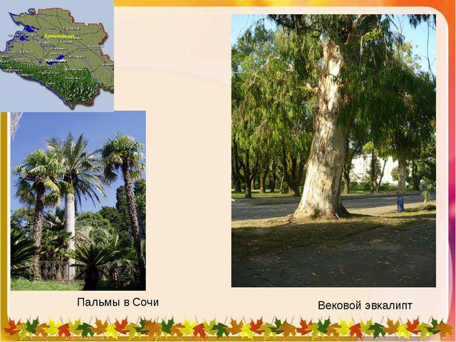 Вековой эвкалипт Пальмы в Сочи