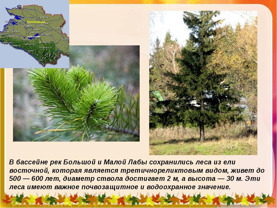В бассейне рек Большой и Малой Лабы сохранились леса из ели восточной, котора...