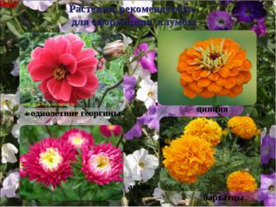 Растения, рекомендуемые для оформления клумбы однолетние георгины цинния астр