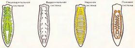 Системы внутренних органов белой планарии