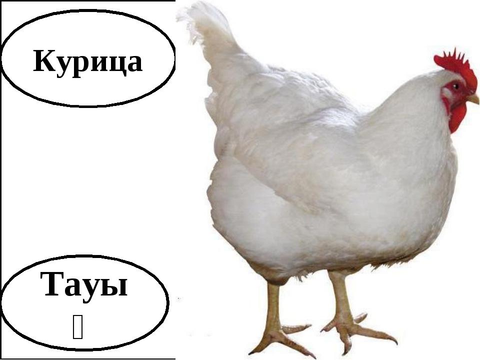 Курица Тауық