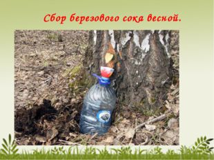 Сбор березового сока весной.