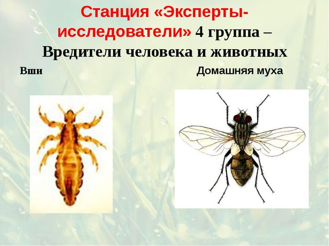 Станция «Эксперты-исследователи» 4 группа – Вредители человека и животных Вши...