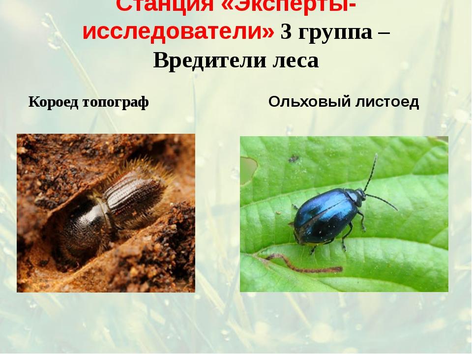 Станция «Эксперты-исследователи» 3 группа – Вредители леса Короед топограф Ол...