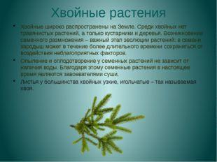 Хвойные растения Хвойные широко распространены на Земле. Среди хвойных нет тр