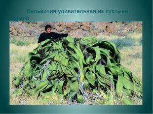 Вельвичия удивительная из пустыни Намиб