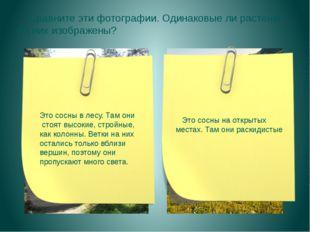 Сравните эти фотографии. Одинаковые ли растения на них изображены? Это сосны