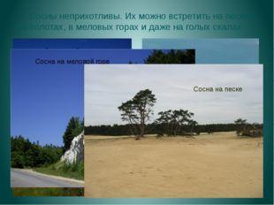 Сосны неприхотливы. Их можно встретить на песках, на болотах, в меловых гора