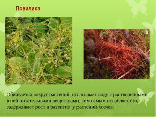 Повилика Обвивается вокруг растений, отсасывает воду с растворенными в ней пи