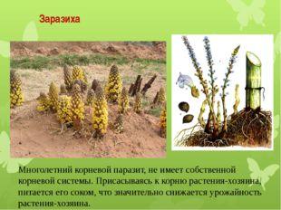 Многолетний корневой паразит, не имеет собственной корневой системы. Присасыв