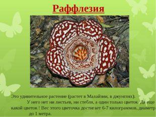 Раффлезия Это удивительное растение (растет в Малайзии, вджунглях). У него н