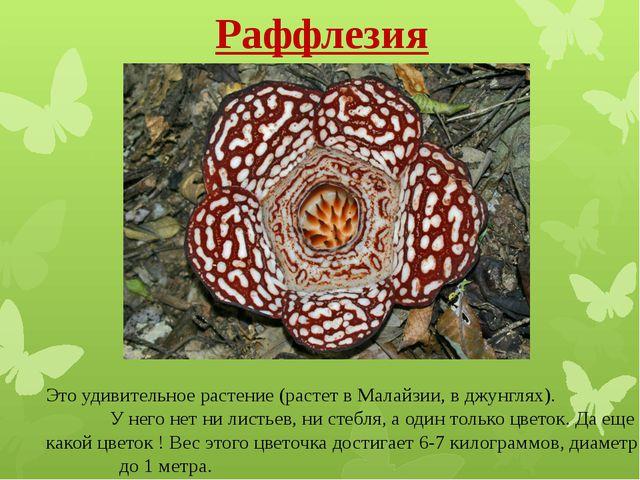Раффлезия Это удивительное растение (растет в Малайзии, вджунглях). У него н...