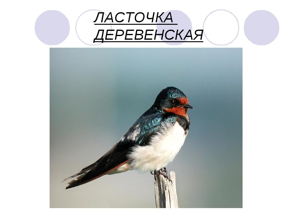 ЛАСТОЧКА ДЕРЕВЕНСКАЯ