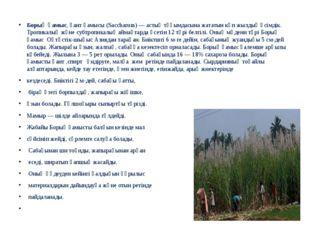 Борық қамыс, қант қамысы (Saccharum) —астық тұқымдасынажататын көп жылдық